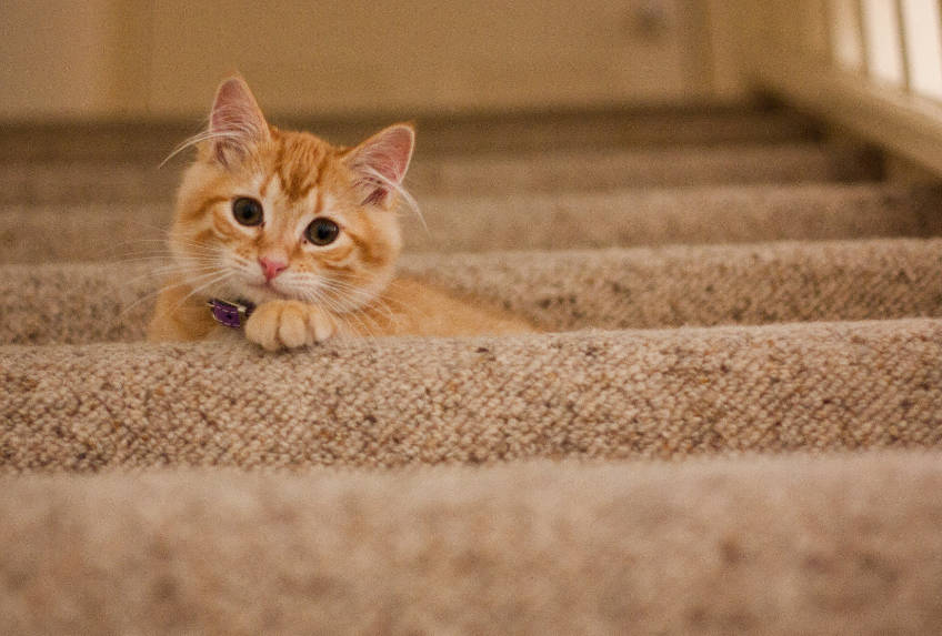 cat-laying-on-stair-carpet
